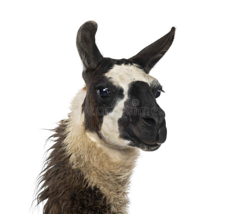 Κινηματογράφηση σε πρώτο πλάνο Llama στοκ εικόνες