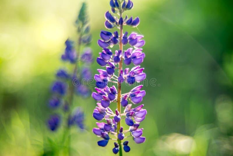 Κινηματογράφηση σε πρώτο πλάνο lupine θερινών άγρια λουλουδιών στοκ φωτογραφία με δικαίωμα ελεύθερης χρήσης