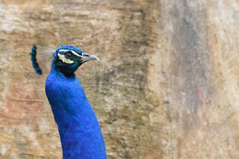Κινηματογράφηση σε πρώτο πλάνο Peacock στοκ φωτογραφίες