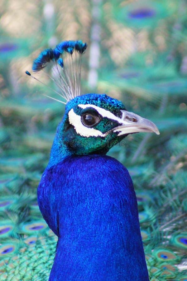 Κινηματογράφηση σε πρώτο πλάνο Peacock στοκ φωτογραφία