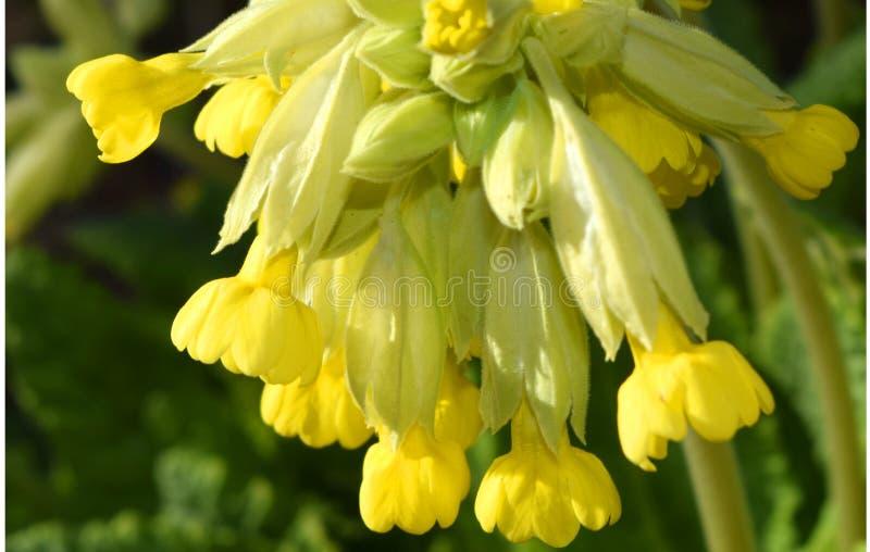 Κινηματογράφηση σε πρώτο πλάνο Primula Veris ανθών Cowslip στοκ φωτογραφίες με δικαίωμα ελεύθερης χρήσης