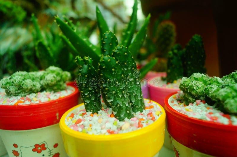 Κιονοειδής κάκτος succulents στοκ εικόνες