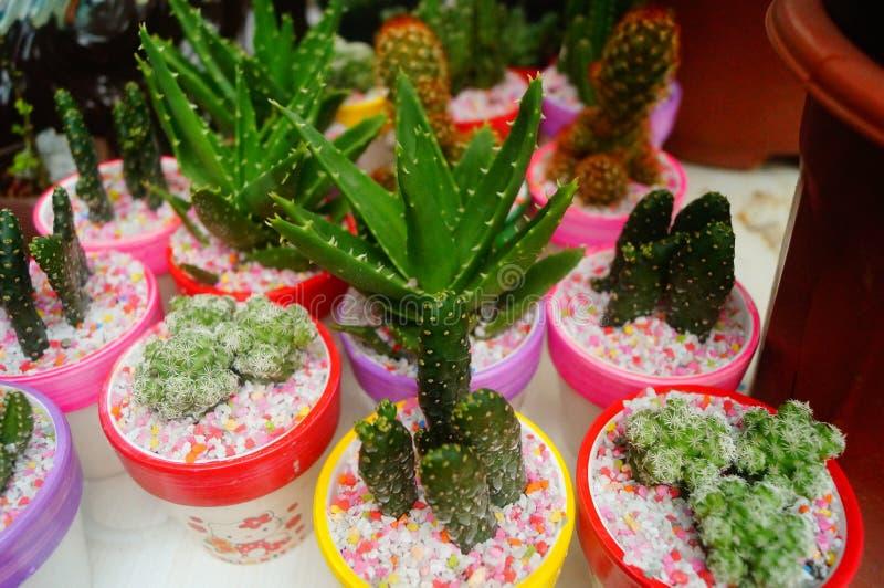 Κιονοειδής κάκτος succulents στοκ φωτογραφίες με δικαίωμα ελεύθερης χρήσης