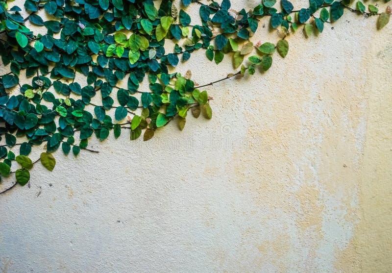 Κισσός στον τοίχο στοκ εικόνες με δικαίωμα ελεύθερης χρήσης