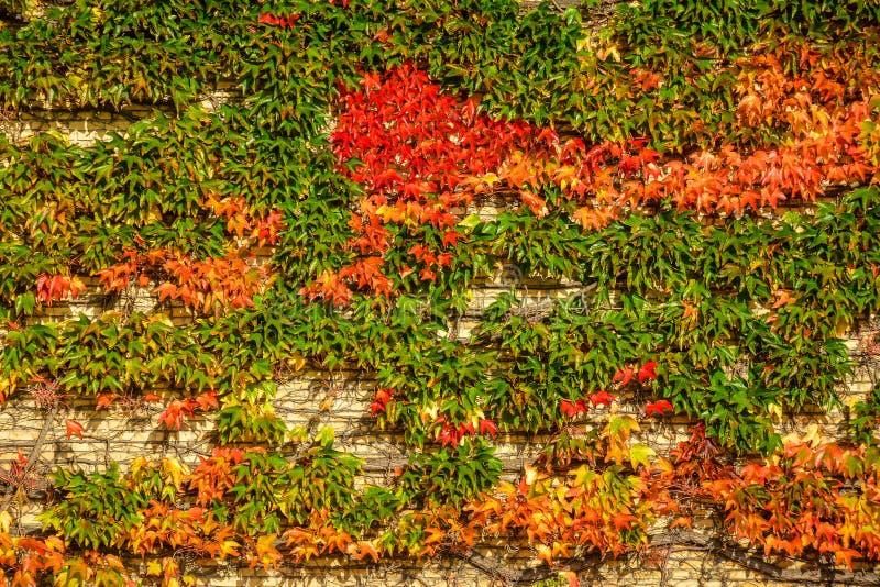 Κισσός φθινοπώρου στο πανεπιστήμιο του Ώρχους, Δανία στοκ φωτογραφίες