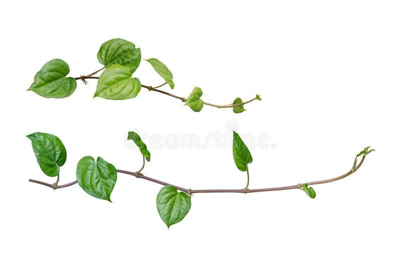 Κισσός φυτά αμπέλων, φύλλα κισσών του φυτού αναρρίχησης που απομονώνεται στο W στοκ φωτογραφία