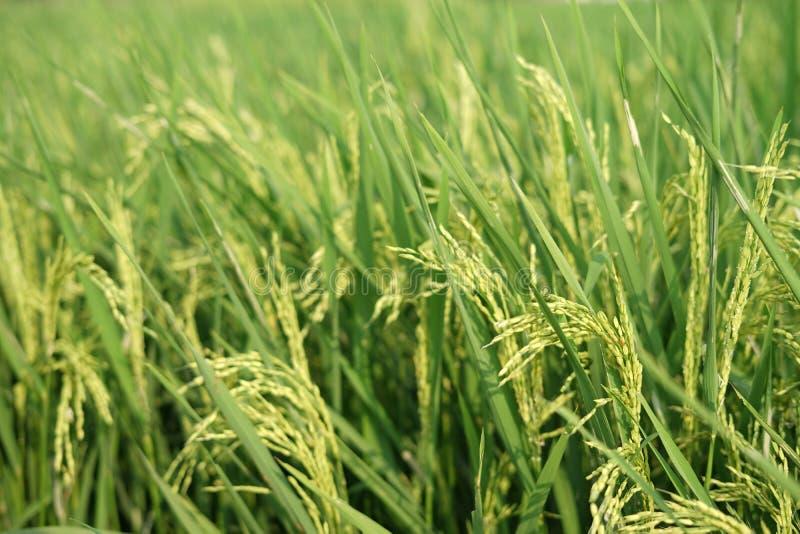 Κιτρινίζοντας ρύζι στους τομείς στοκ φωτογραφίες με δικαίωμα ελεύθερης χρήσης