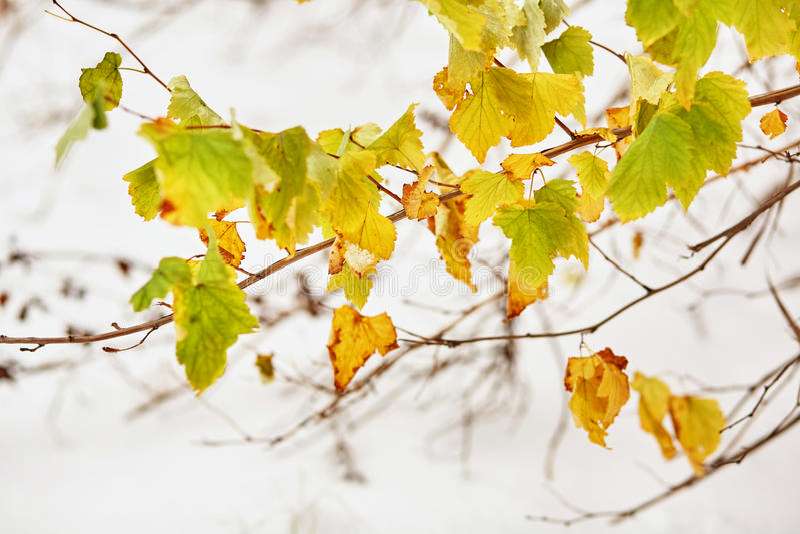 Κιτρινοπράσινα φύλλα στο υπόβαθρο του πρώτου χιονιού στοκ εικόνα με δικαίωμα ελεύθερης χρήσης