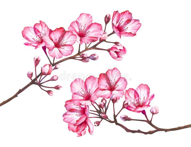 Κλάδοι ανθών κερασιών που απομονώνονται στο άσπρο υπόβαθρο Απεικόνιση Watercolor των λουλουδιών sakura ελεύθερη απεικόνιση δικαιώματος