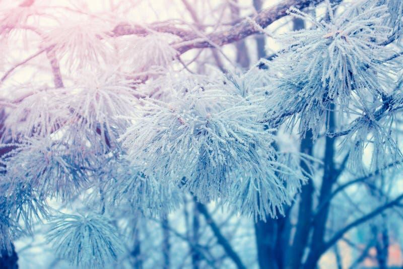 Κλάδοι δέντρων πεύκων που καλύπτονται με τον παγετό πάγου στοκ φωτογραφία με δικαίωμα ελεύθερης χρήσης