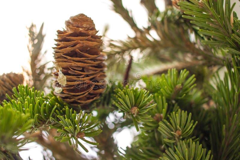 Κλάδοι δέντρων πεύκων Christmass με τον κώνο στο δάσος στο λευκό Christmass και νέο χειμερινό υπόβαθρο έτους στοκ εικόνα