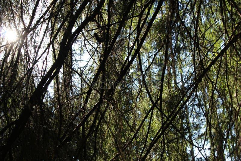 κλάδοι δέντρων στο δάσος στο ηλιοβασίλεμα στοκ φωτογραφίες με δικαίωμα ελεύθερης χρήσης