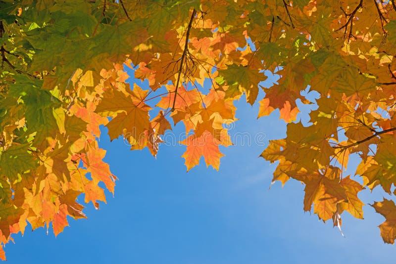 Κλάδοι δέντρων σφενδάμνου με τα ζωηρά χρωματισμένα φύλλα ενάντια στο μπλε ουρανό στοκ φωτογραφίες με δικαίωμα ελεύθερης χρήσης
