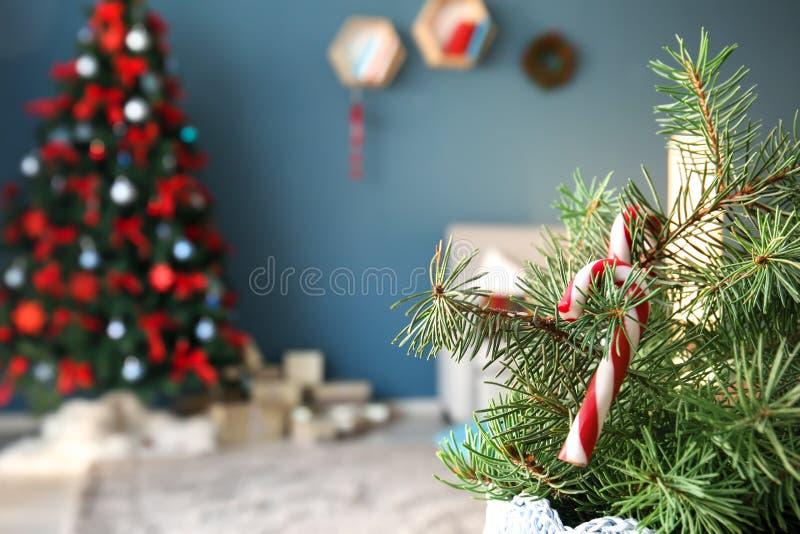 Κλάδοι δέντρων του FIR με τους καλάμους καραμελών στο εσωτερικό Χριστουγέννων του δωματίου στοκ εικόνες με δικαίωμα ελεύθερης χρήσης