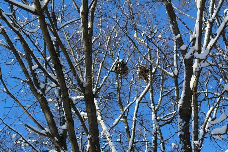 Κλάδοι δέντρων το χειμώνα με τις φωλιές και το μπλε ουρανό πουλιών στοκ φωτογραφία με δικαίωμα ελεύθερης χρήσης