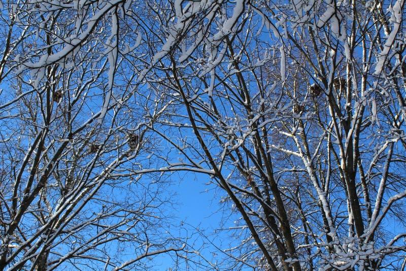 Κλάδοι δέντρων το χειμώνα με τις φωλιές και το μπλε ουρανό πουλιών στοκ εικόνα με δικαίωμα ελεύθερης χρήσης