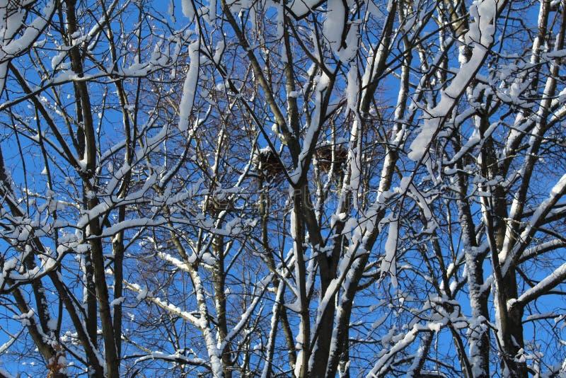 Κλάδοι δέντρων το χειμώνα με τις φωλιές και το μπλε ουρανό πουλιών στοκ φωτογραφίες με δικαίωμα ελεύθερης χρήσης