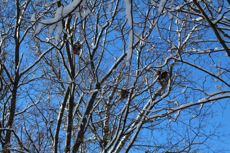 Κλάδοι δέντρων το χειμώνα με τις φωλιές και το μπλε ουρανό πουλιών στοκ φωτογραφίες