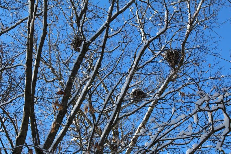 Κλάδοι δέντρων το χειμώνα με τις φωλιές και το μπλε ουρανό πουλιών στοκ εικόνες
