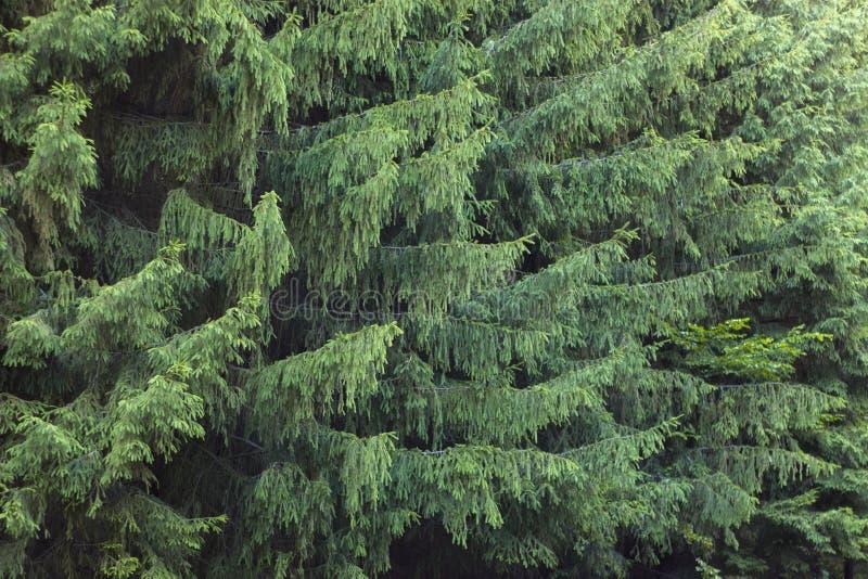 Κλάδοι ενός νάνου mugo πεύκων πεύκων βουνών χρήση στο σχέδιο τοπίων και το σχέδιο στοκ εικόνα