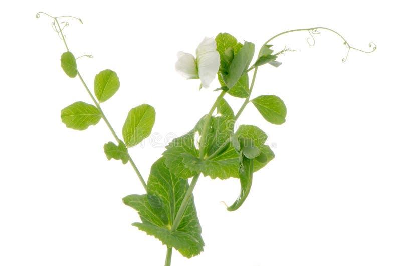 Κλάδοι και λουλούδι του πράσινου μπιζελιού στοκ εικόνες