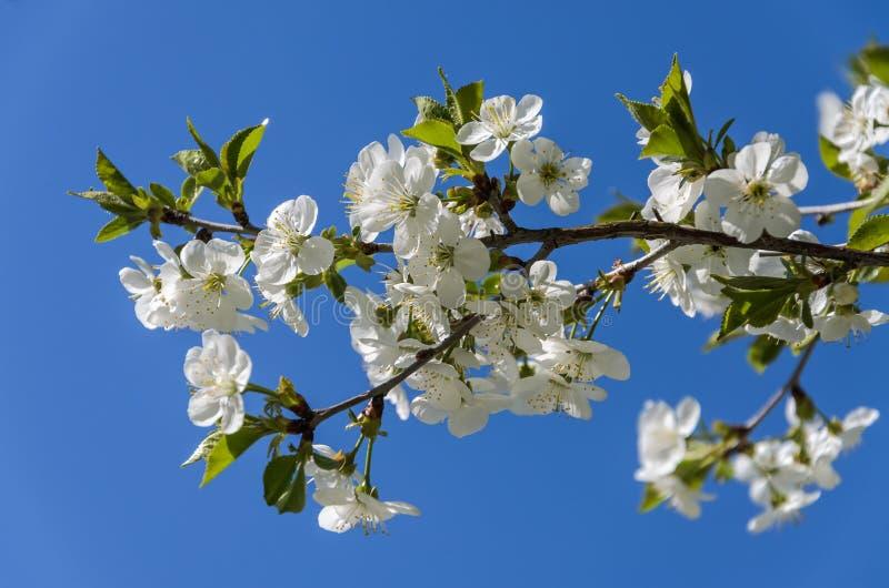 Κλάδοι κερασιών με τα ανθίζοντας λουλούδια την άνοιξη στον αέρα στοκ φωτογραφία