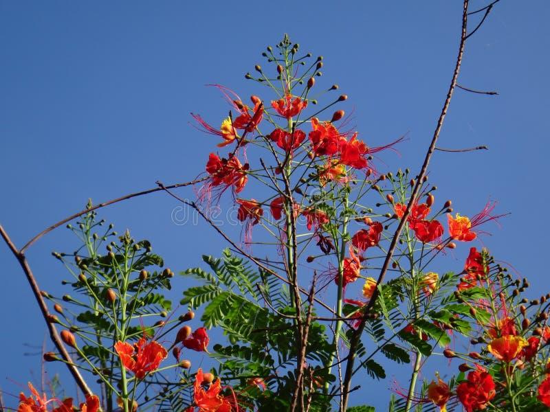 Κλάδοι λουλουδιών Peacock στοκ εικόνα με δικαίωμα ελεύθερης χρήσης