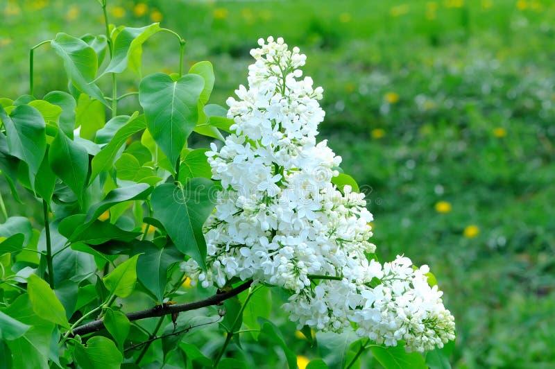 Κλάδοι με τα λουλούδια της άσπρης πασχαλιάς στοκ εικόνες με δικαίωμα ελεύθερης χρήσης