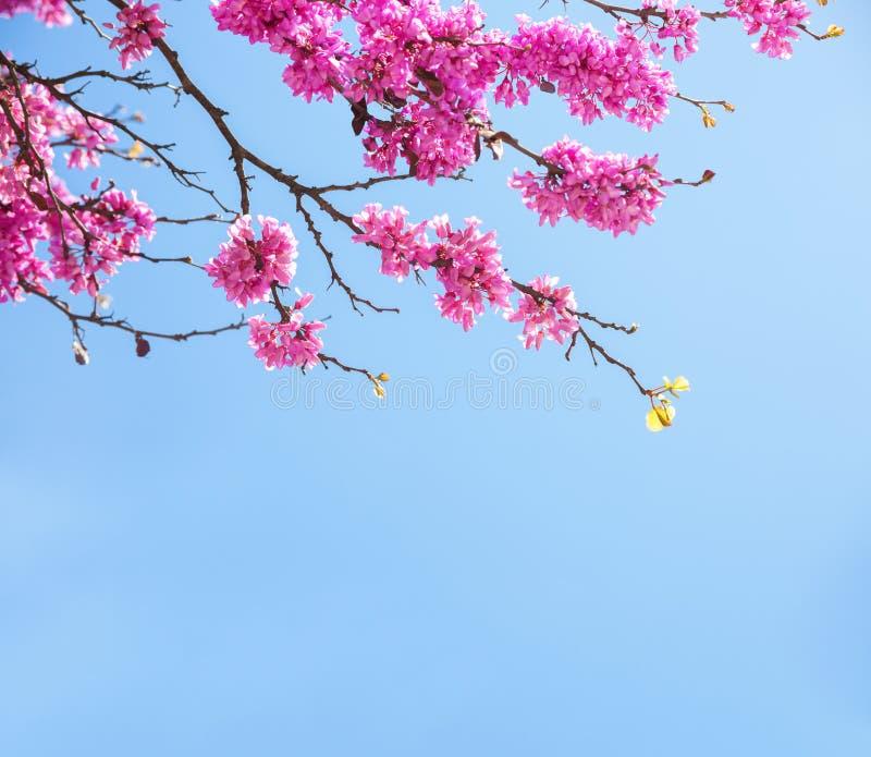 Κλάδοι με τα φρέσκα ρόδινα λουλούδια στο φως του ήλιου πρωινού ενάντια στο μπλε ουρανό Άνοιξη - ανθίσεις στο θάμνο στοκ εικόνα με δικαίωμα ελεύθερης χρήσης