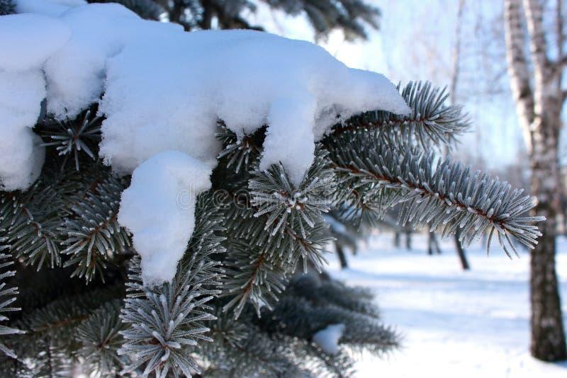 Κλάδοι πεύκων με τις αειθαλείς βελόνες στο hoarfrost κάτω από το χιόνι επάνω από το δασικό βλασταημένο τοπίο χειμώνα δέντρων χιον στοκ φωτογραφίες