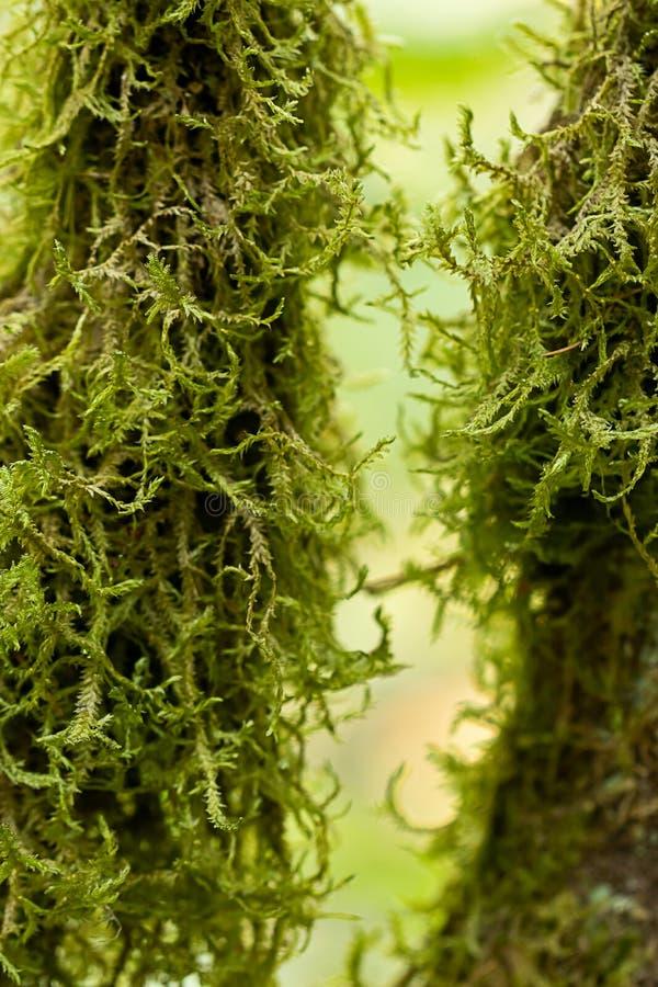 Κλάδοι που καλύπτονται συνολικά από την πράσινη κατακόρυφο βρύου κοντά επάνω στοκ εικόνες με δικαίωμα ελεύθερης χρήσης