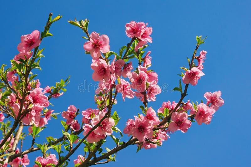 Κλάδοι της αμυγδαλιάς με τα ρόδινα λουλούδια ενάντια στο μπλε ουρανό την ηλιόλουστη ημέρα άνοιξη στοκ φωτογραφίες με δικαίωμα ελεύθερης χρήσης