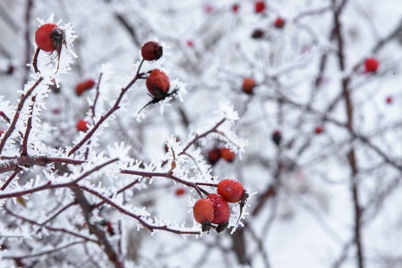 Κλάδοι του άγριου ροδαλού θάμνου στο hoarfrost το χειμώνα με το κόκκινο berri στοκ φωτογραφίες