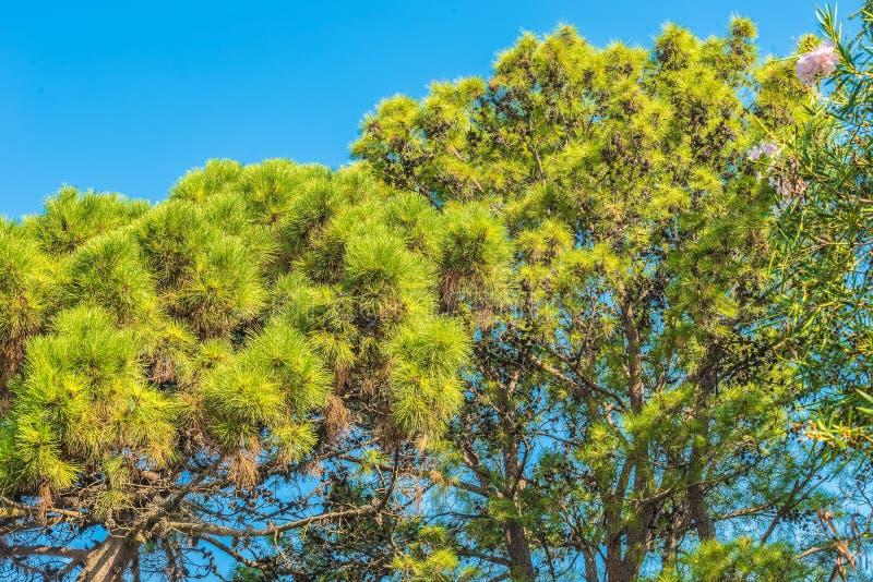 Κλάδοι των δέντρων πεύκων στο Μαυροβούνιο κοντά στη θάλασσα στοκ εικόνες με δικαίωμα ελεύθερης χρήσης