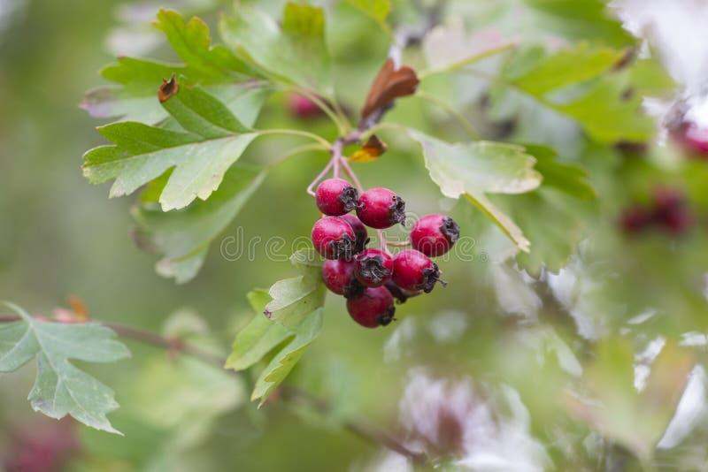 Κλάδοι φθινοπώρου του κραταίγου με τα κόκκινα φρούτα Κλάδοι του κραταίγου με τα πεσμένα φύλλα Συγκομιδή του κραταίγου Μειωμένα φύ στοκ φωτογραφία με δικαίωμα ελεύθερης χρήσης