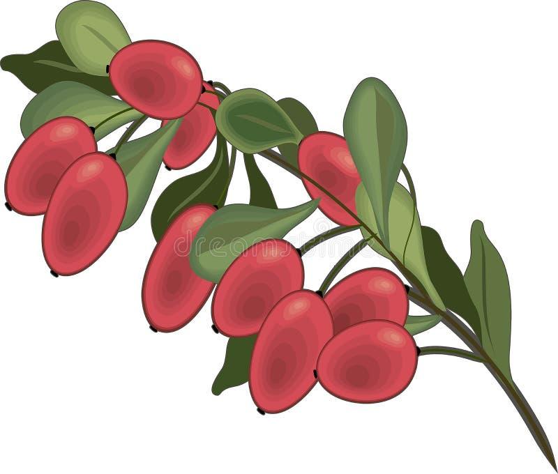 Κλάδος απομονωμένου του barberry εικονιδίου στοκ εικόνα