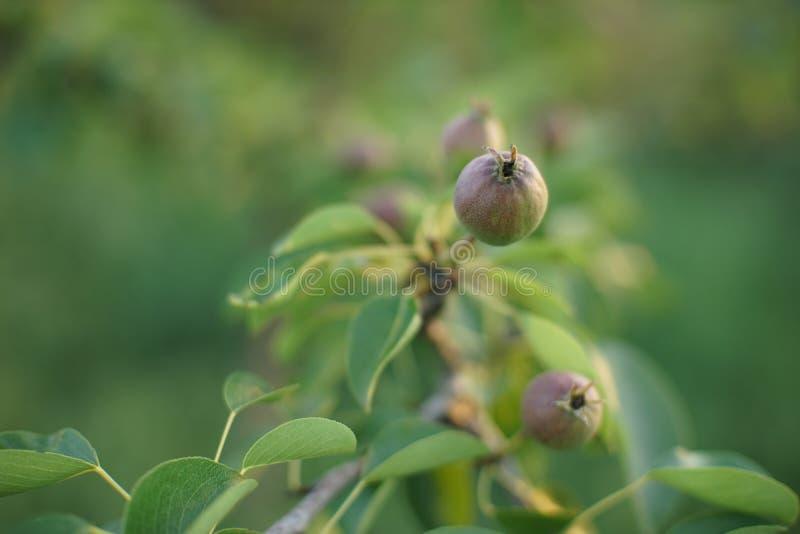 Κλάδος δέντρων αχλαδιών με τα νέα πράσινα φρούτα στοκ εικόνες