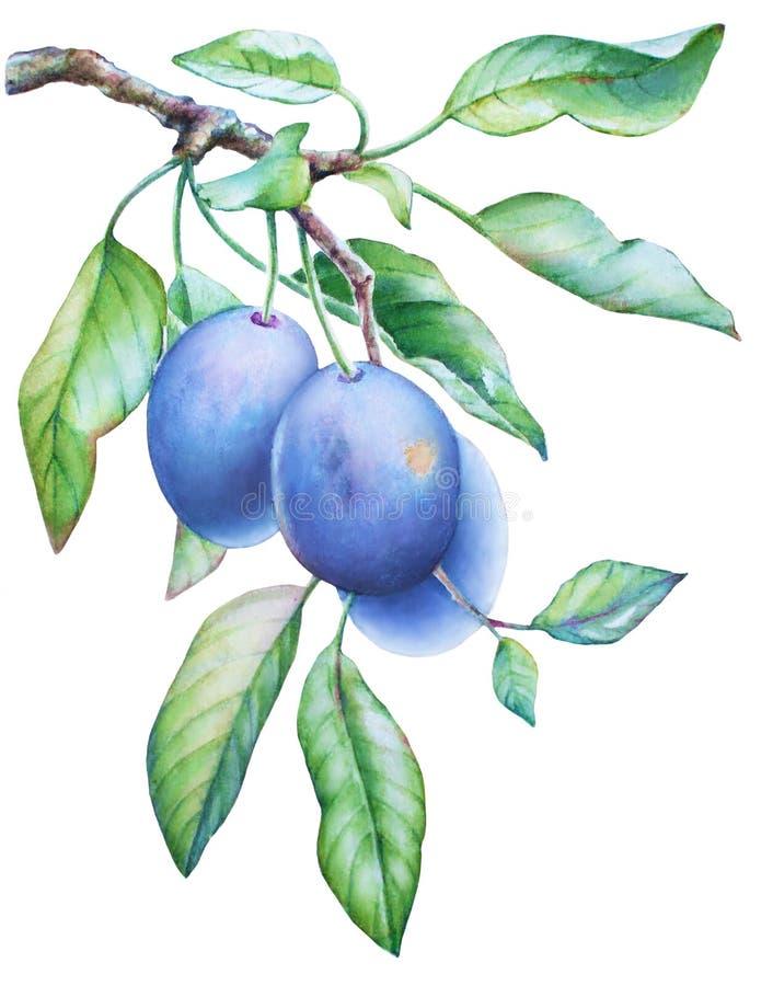 Κλάδος δέντρων δαμάσκηνων με τα φρούτα ελεύθερη απεικόνιση δικαιώματος