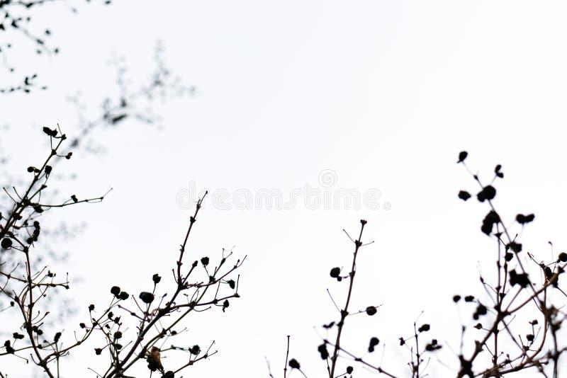 Κλάδος δέντρων και σκιαγραφία φύλλων στο άσπρο κλίμα ουρανού στοκ εικόνες με δικαίωμα ελεύθερης χρήσης