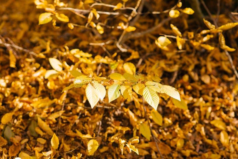 Κλάδος δέντρων με τα κίτρινα φύλλα στο υπόβαθρο του τάπητα του φθινοπώρου στοκ φωτογραφία με δικαίωμα ελεύθερης χρήσης