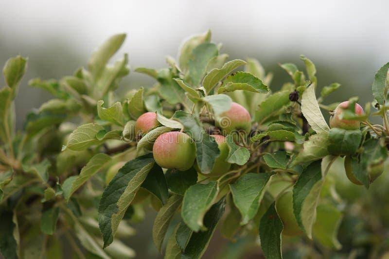 Κλάδος δέντρων της Apple με πολλά ωριμάζοντας μήλα και πολύβλαστα πράσινα φύλλα, πλάγια όψη στοκ φωτογραφίες με δικαίωμα ελεύθερης χρήσης