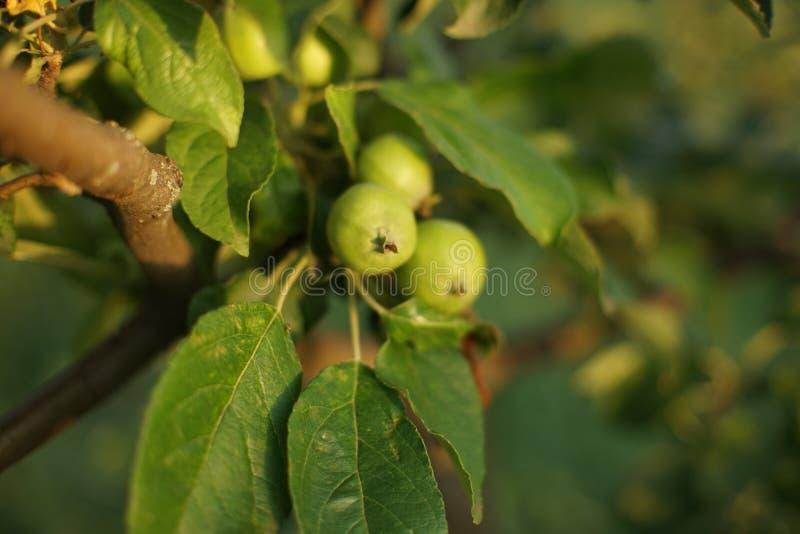 Κλάδος δέντρων της Apple με τα νέα πράσινα φρούτα στοκ εικόνες