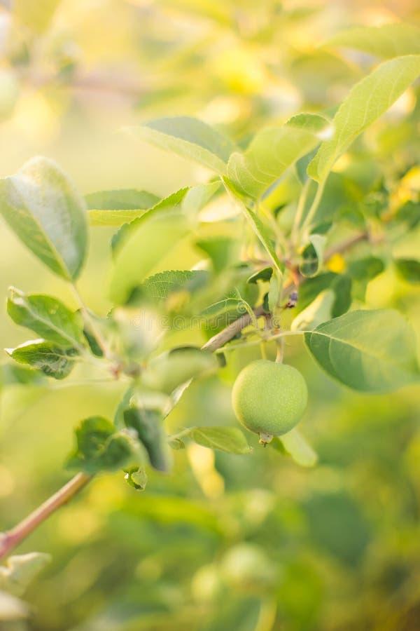Κλάδος δέντρων της Apple με τα νέα πράσινα φρούτα στοκ εικόνα με δικαίωμα ελεύθερης χρήσης