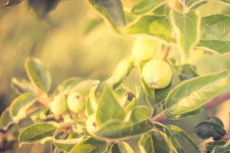 Κλάδος δέντρων της Apple με τα νέα πράσινα φρούτα στοκ φωτογραφίες με δικαίωμα ελεύθερης χρήσης