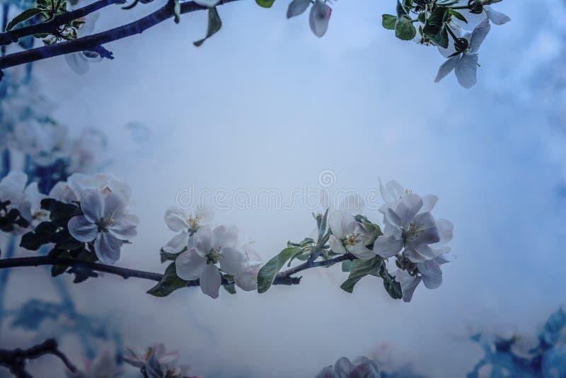 Κλάδος δέντρων της Apple με τα flovers άνθησης στη νεφελώδη ημέρα στοκ φωτογραφία με δικαίωμα ελεύθερης χρήσης