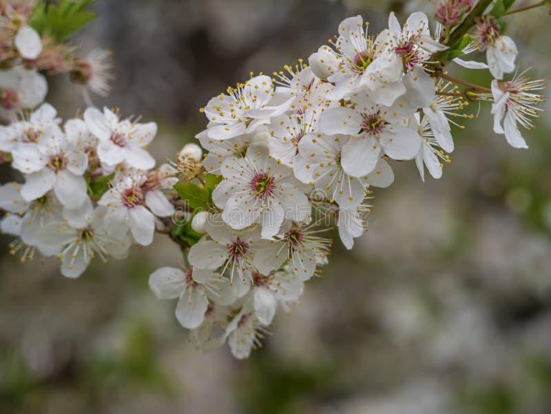 Κλάδος δέντρων της Apple στην πλήρη άνθιση o Έννοια ο κήπος μου στοκ εικόνα