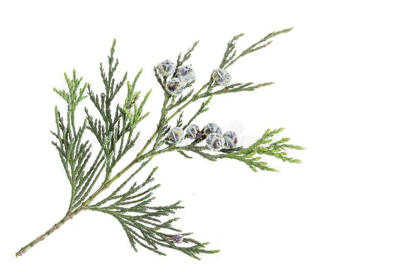 Κλάδος κλαδίσκων του κυπαρισσιού με τους κώνους που απομονώνονται στο λευκό στοκ φωτογραφίες