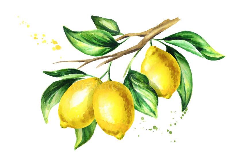 Κλάδος λεμονιών με τα φρούτα και τα φύλλα Συρμένη χέρι απεικόνιση Watercolor στοκ εικόνα