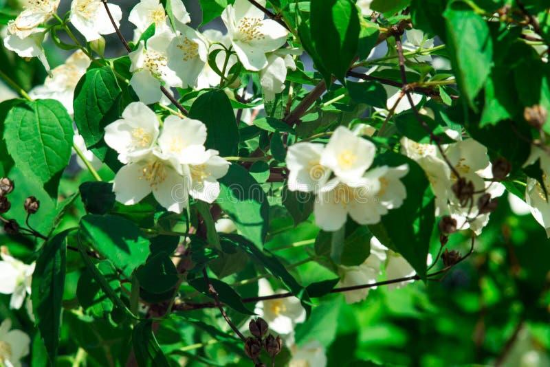 Κλάδος λουλουδιών της Jasmine Λουλούδια κινηματογραφήσεων σε πρώτο πλάνο σε έναν κήπο Λουλούδια της Jasmine που ανθίζουν στο θάμν στοκ εικόνες με δικαίωμα ελεύθερης χρήσης