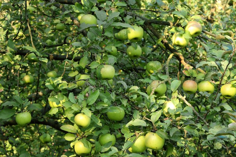 κλάδος μήλων με την ώριμη κινηματογράφηση σε πρώτο πλάνο μήλων στις ακτίνες του ήλιου Έννοια συγκομιδών φθινοπώρου στοκ εικόνες με δικαίωμα ελεύθερης χρήσης